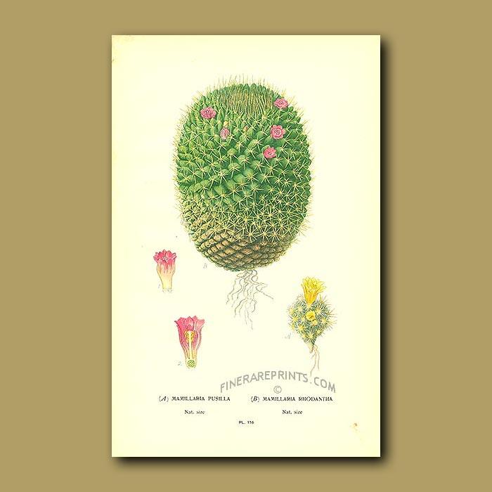 Antique print. Cactus (Mamillaria Pusilla And Rhodantha)