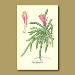 Rat's-Tail Cactus (Cereus Flagilliformis)