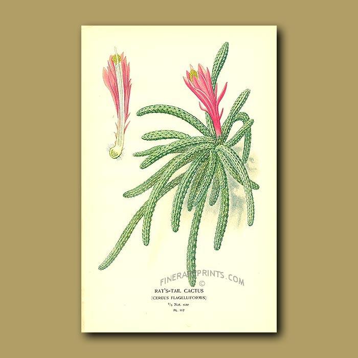 Antique print. Rat's-Tail Cactus (Cereus Flagilliformis)