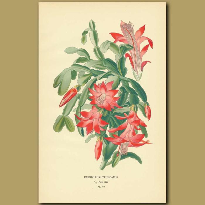 Antique print. Cactus (Epiphyllum Truncatum)