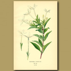 Bouvardia Longifolia