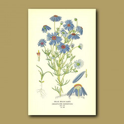 Swan River Daisy (Brachycome Iberidifolia)