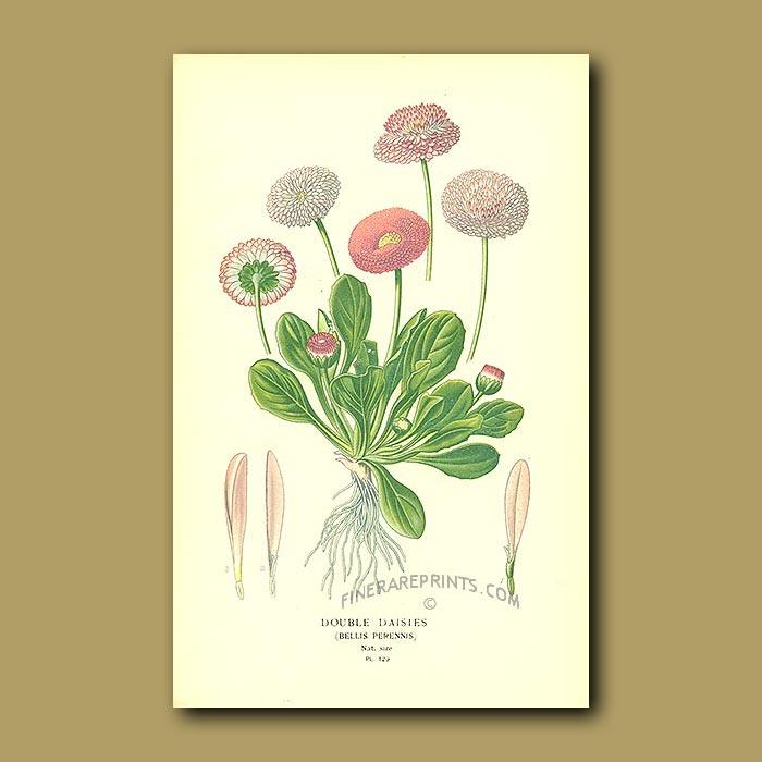 Antique print. Double Daisies (Bellis Perennis)
