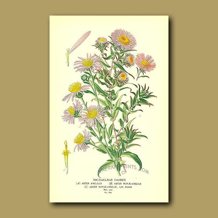 Antique print. Michaelmas Daisies (Aster Novoe-Anglioe And Amellus)