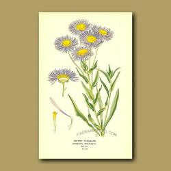 Showy Fleabane (Erigeron Speciosum)