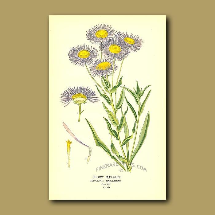 Antique print. Showy Fleabane (Erigeron Speciosum)
