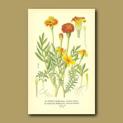 French And Mexican Marigold (Tagetes Patula And Signata)