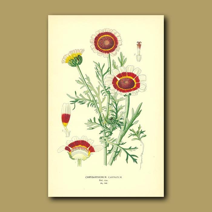 Antique print. Chrysanthemum Carintaum Var. Burridgeanum