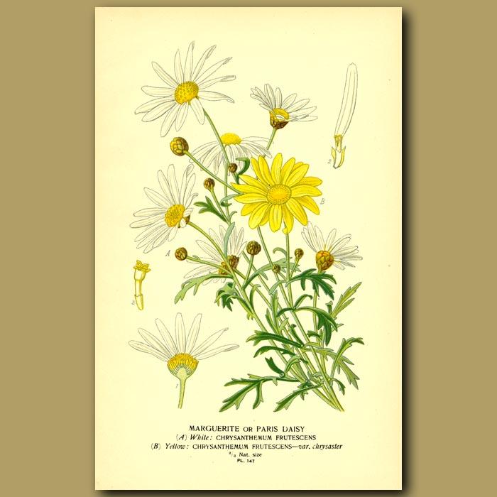 Antique print. Marguerite or Paris Daisy (Chrysanthemum frutescens)