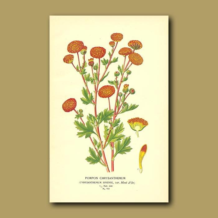 Antique print. Chrysanthemum Sinense Pompon Var. Mont D'or