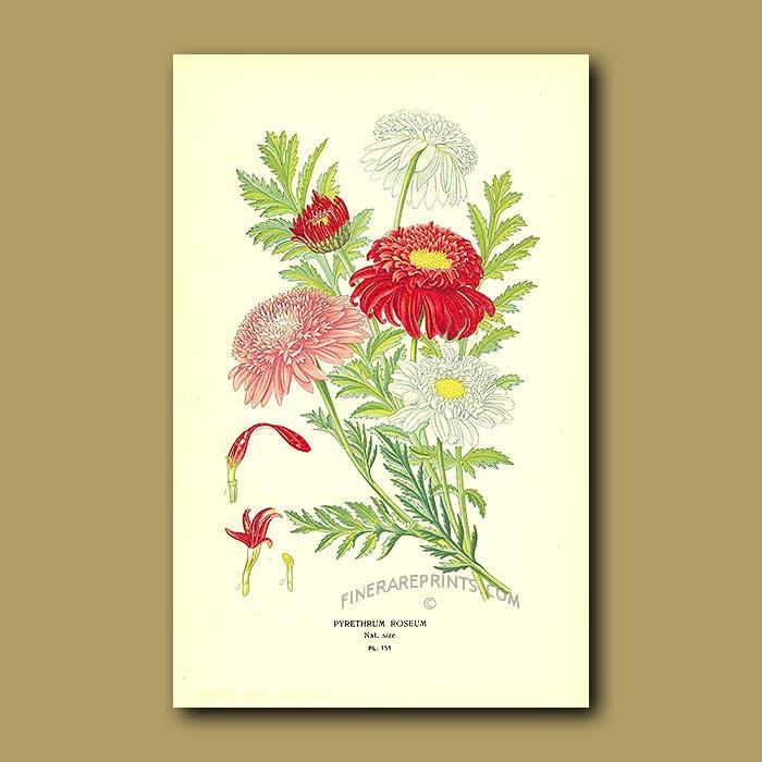 Antique print. Pink Pyrethrum (Pyrethrum Roseum)