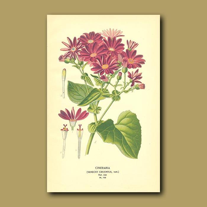 Antique print. Cineraria (Senecio Cruentus)