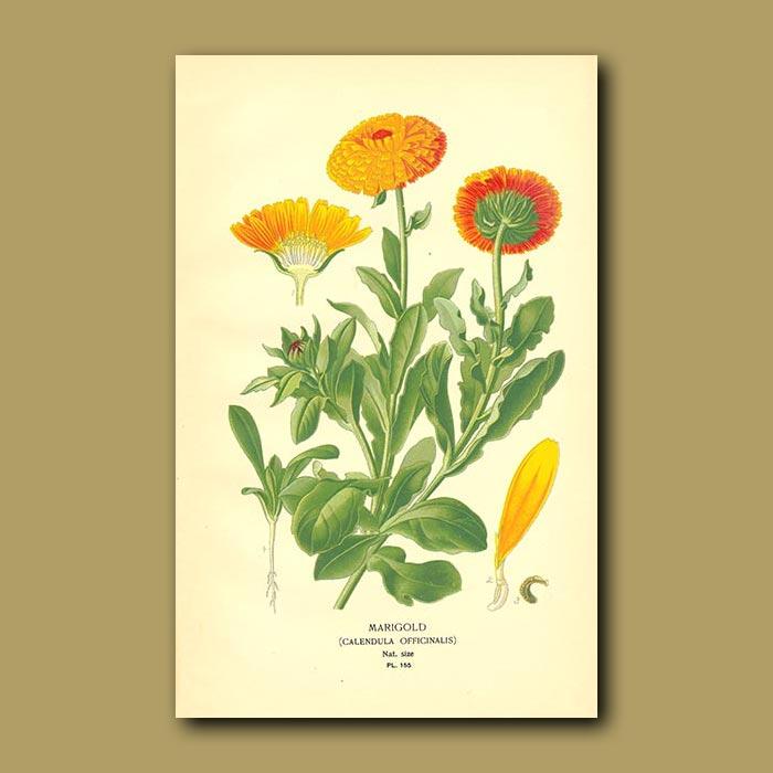 Antique print. Common Marigold (Calendula Officinalis)