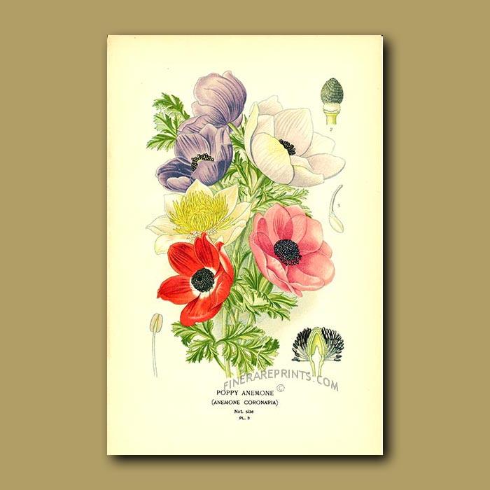 Antique print. Poppy Anemone (Anemone Coronaria)