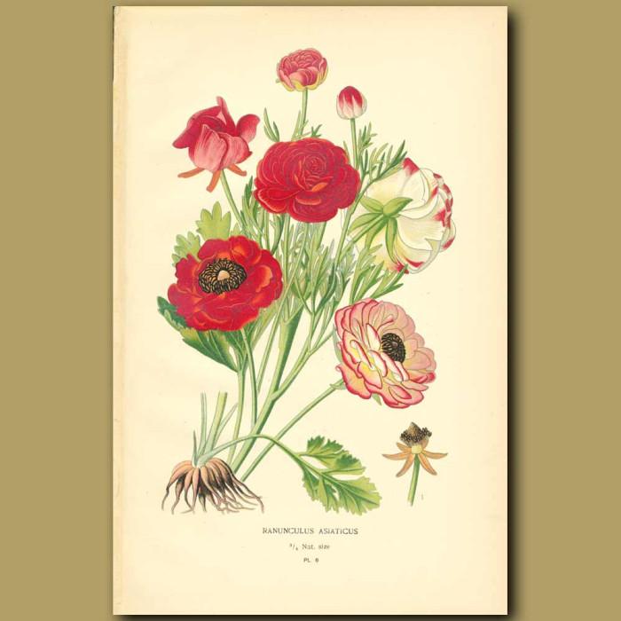 Antique print. Garden Ranunculus (Ranunculus Aasiaticu)