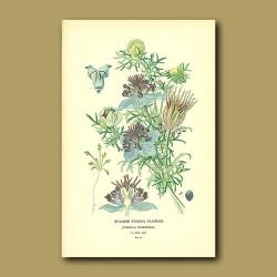Spanish Fennel Flower (Nigella Hispanica)