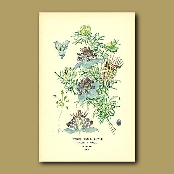 Antique print. Spanish Fennel Flower (Nigella Hispanica)