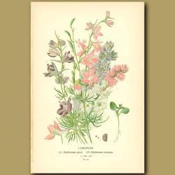 Larkspurs (Delphinium Ajaci)