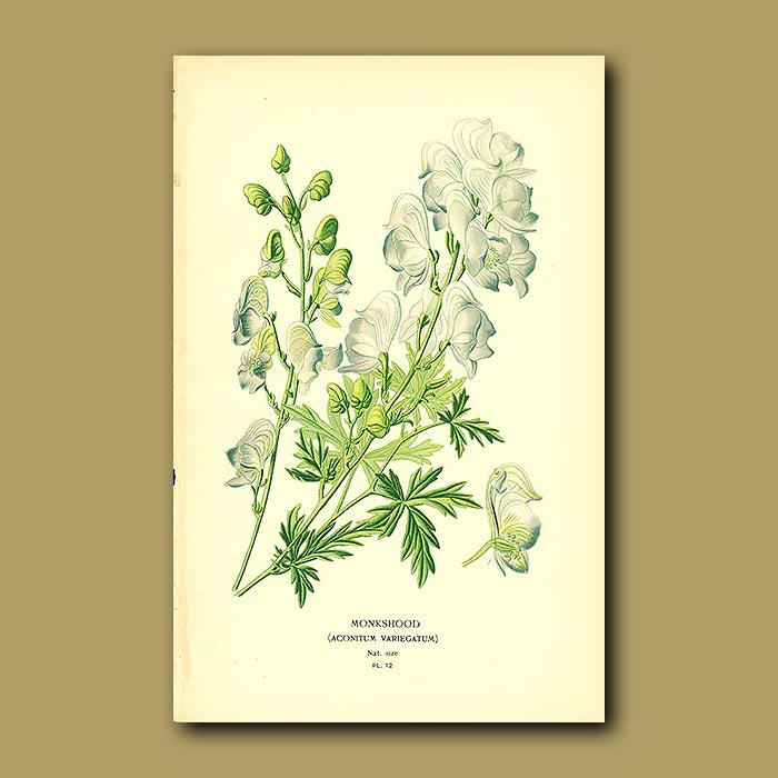 Antique print. Monkshood (Aconitum Variegatum)