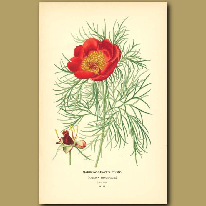 Antique print. Narrow-Leaved Peony (Poenia Tenuifoli)