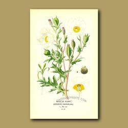 Mexican Poppy (Argemone Grandiflor)