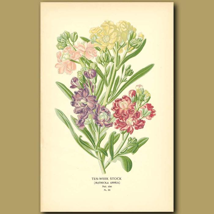 Antique print. Ten-Week Stock (Matthiola Annu)