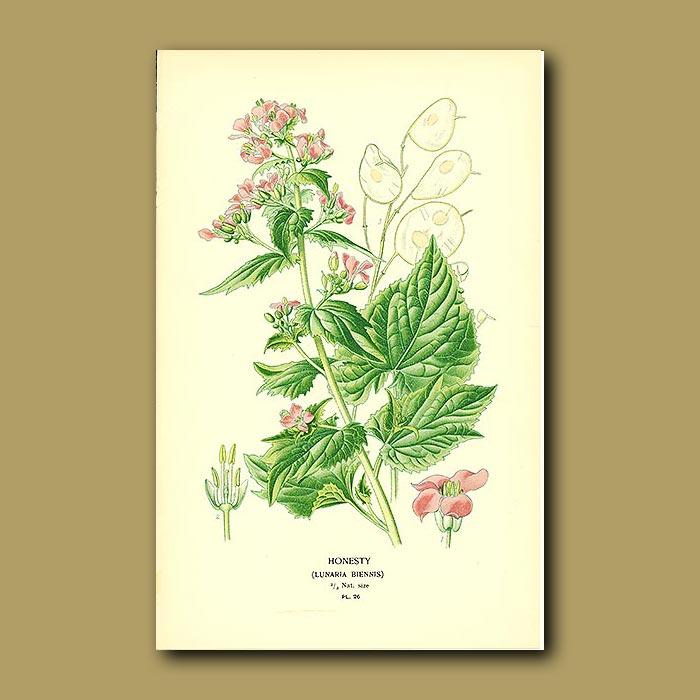 Antique print. Honesty (Lunaria Biennis)