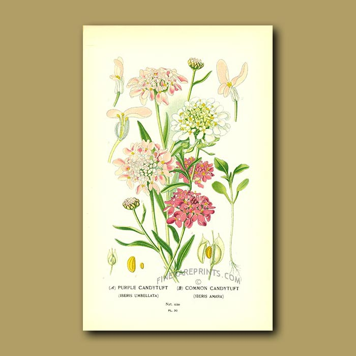 Antique print. Purple And Common Candytuft (Iberis Umbellata And Amar)