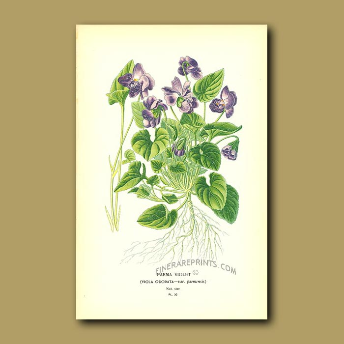 Antique print. Parma Violet (Viola Odorat)