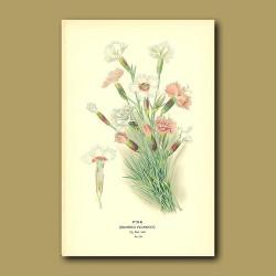 Garden Pink (Dianthus Plumarius)
