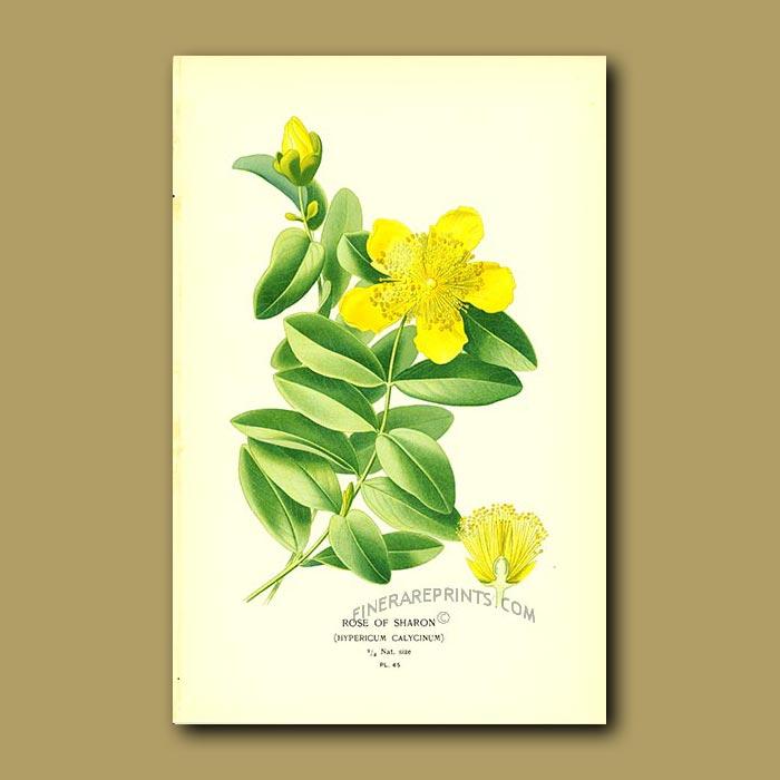 Antique print. Rose Of Sharon