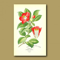 Camellia (Camellia Japonic)