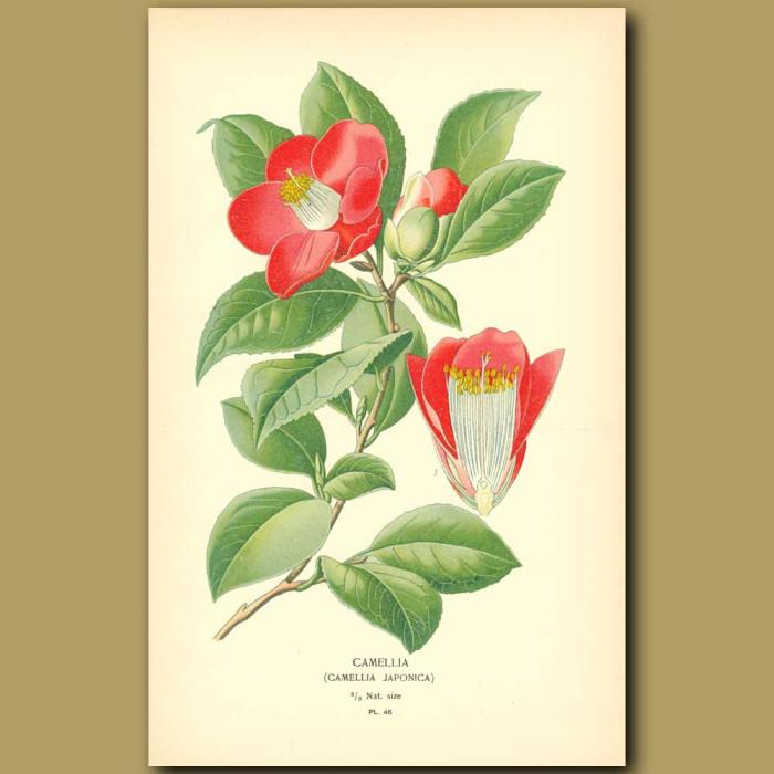 Antique print. Camellia (Camellia Japonic)