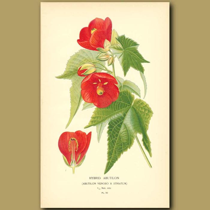 Antique print. Hybrid Abutilon (Abutilon Venosu)
