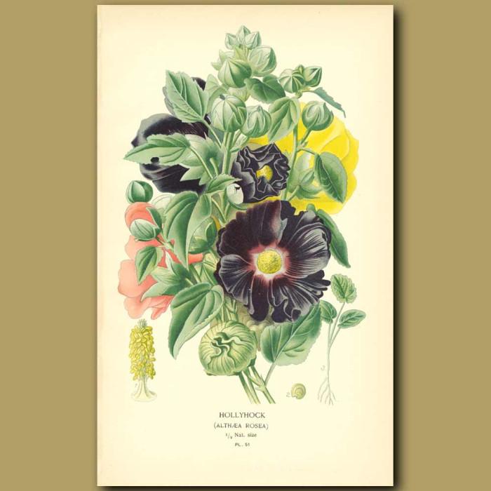 Antique print. Hollyhock (Althoea Rosea)