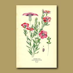 Garden Flax (Linium Grandiflorum)