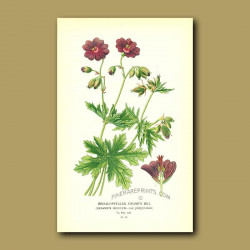 Broad-Petaled Crane's Bill (Geranium Ibericu)