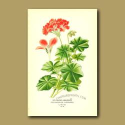 Ivy-Leaved Geranium