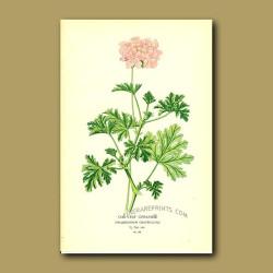 Oak-Leaf Geranium