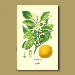 Sweet Orange (Citrus Aurantium)