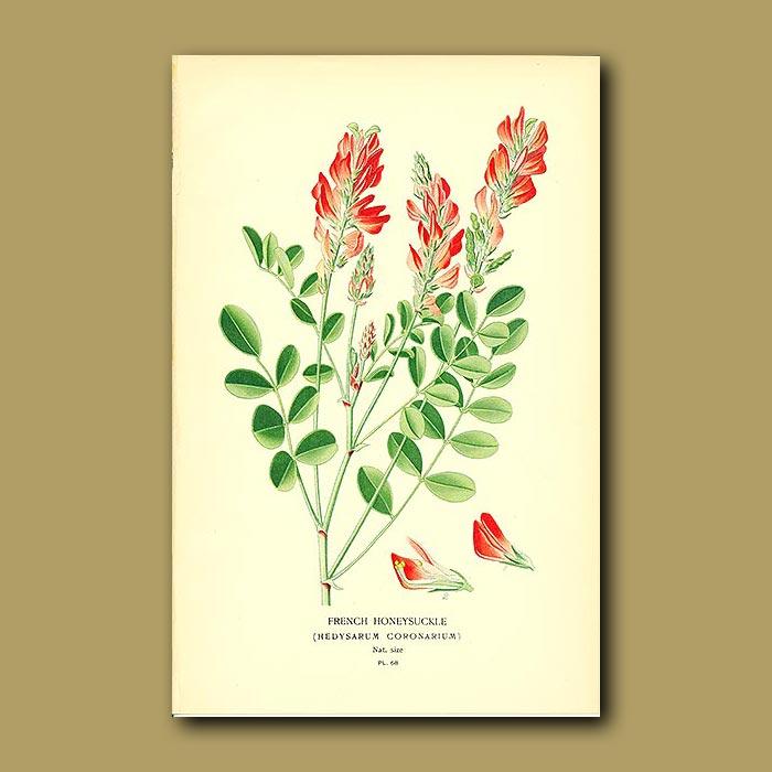Antique print. French Honeysuckle (Hedysarum Coronarium)