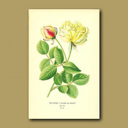 Tea Rose (Gloire De Dijon)