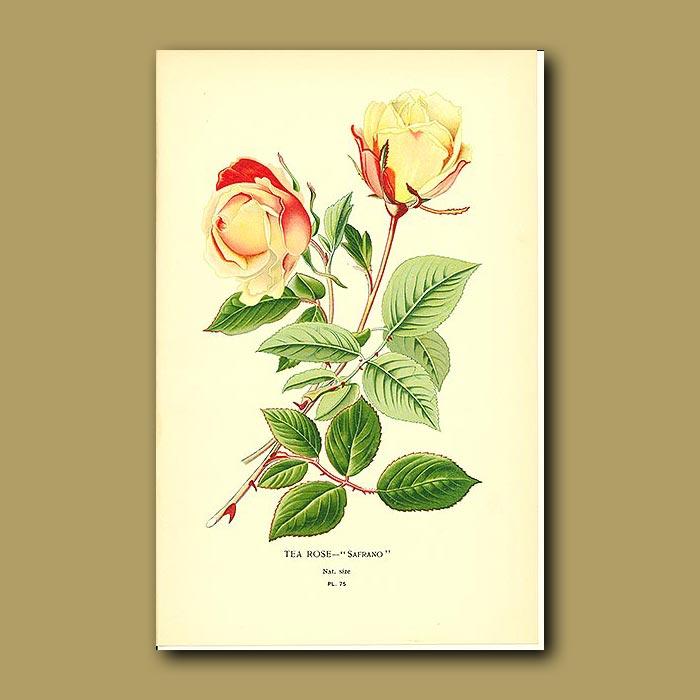Antique print. Tea Rose (Safrano)