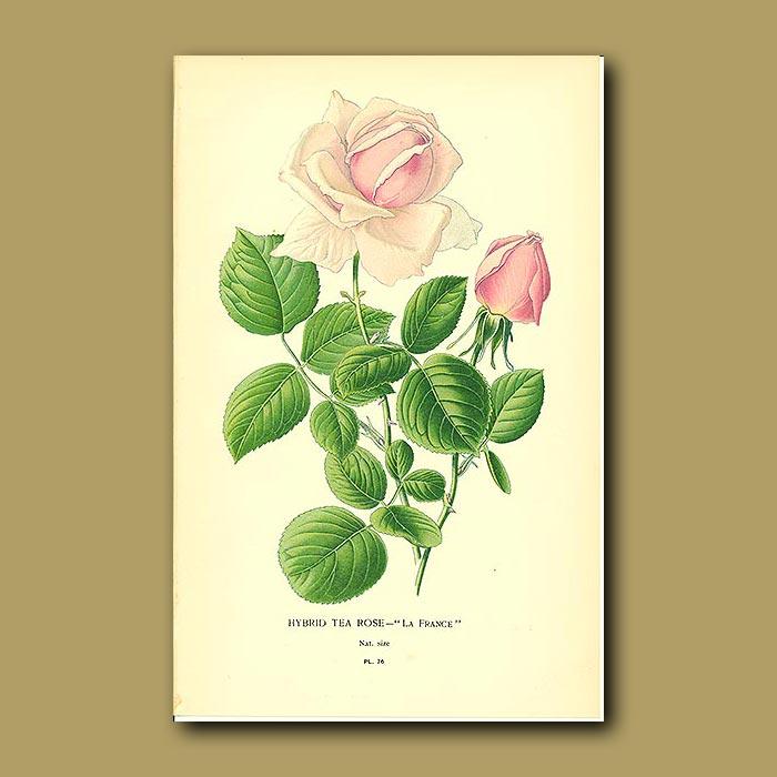 Antique print. Hybrid Tea Rose (La Franc)