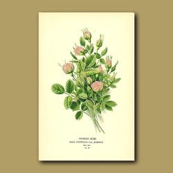 Pompon Rose (Rosa Centifoli)