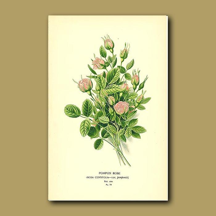 Antique print. Pompon Rose (Rosa Centifoli)