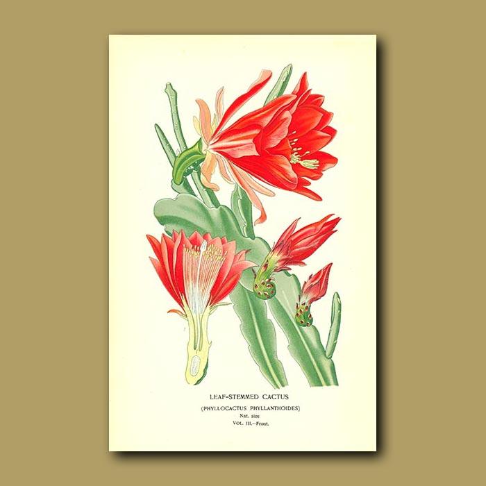 Antique print. Leaf-Stemmed Cactus (Phylocactus Phyllanthoides)