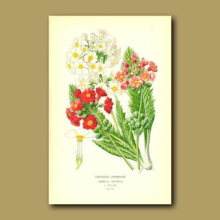 Antique print. Japanese Primrose (Primula Japonica)