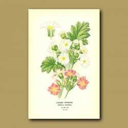 Chinese Primrose (Primula Sinensi)