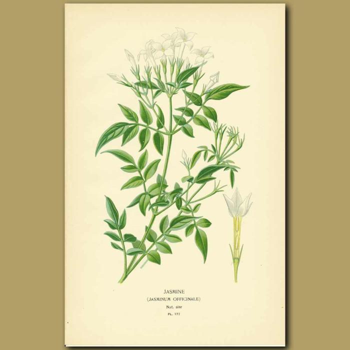 Antique print. Jasmine